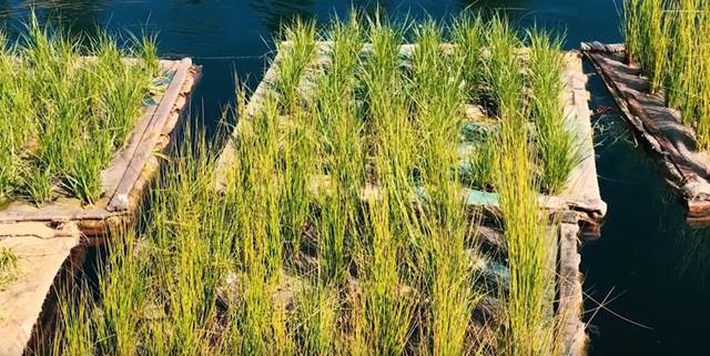 Plants growing on a floating wetland structure in the lake