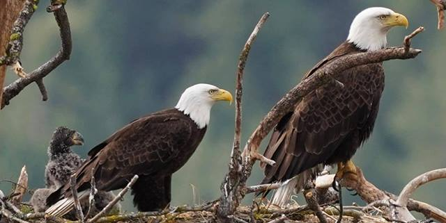 Eagle family in a nest, two adult eagles and one young eagle